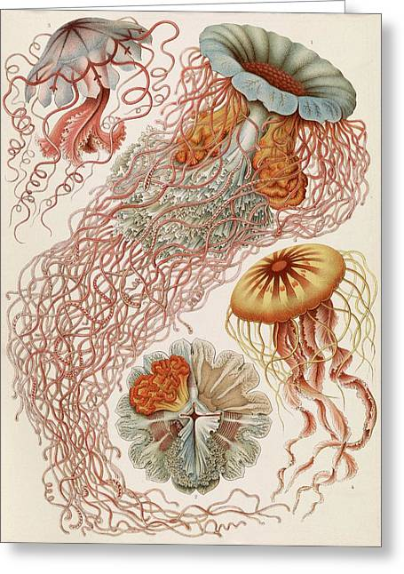 Discomedusae Jellyfish Greeting Card by Library Of Congress