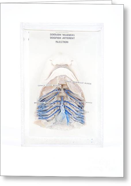 Dogfish Greeting Cards - Dissected Dogfish Greeting Card by Gregory Davies / Medinet Photographics