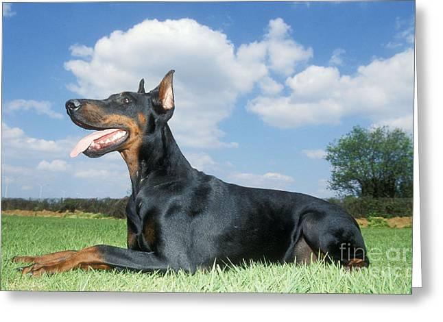 Dobermann Greeting Cards - Doberman Pinscher Dog Greeting Card by Johan De Meester
