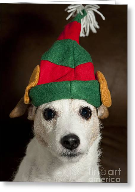 Wildlife Celebration Greeting Cards - Dog Wearing Elf Ears, Christmas Portrait Greeting Card by Jim Corwin