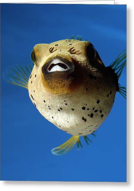 Dogface Pufferfish Greeting Card by Nigel Downer