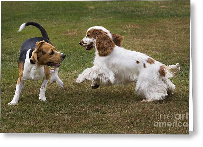 Dog Park Greeting Cards - Dogs Playing Greeting Card by Johan De Meester