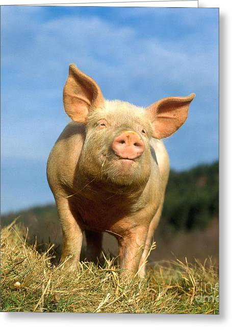 Barn Yard Photographs Greeting Cards - Domestic Pig Greeting Card by Hans Reinhard