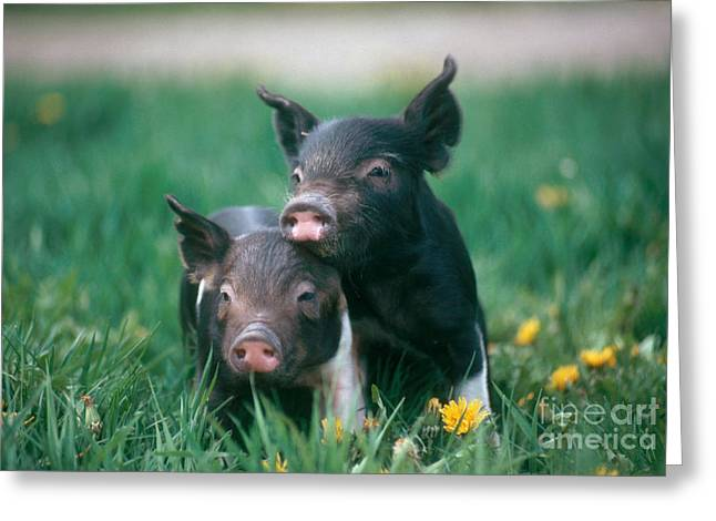 Best Sellers -  - Piglets Greeting Cards - Domestic Piglets Greeting Card by Alan Carey
