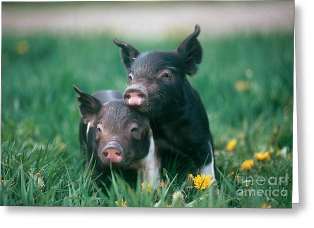 Domestic Piglets Greeting Card by Alan Carey