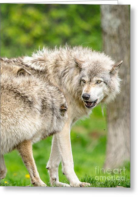 Hairy Wolf Greeting Cards - Dominance Greeting Card by Cheryl Baxter