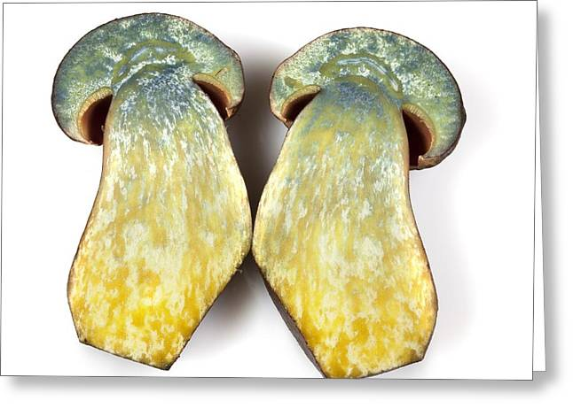 Fungi Greeting Cards - Dotted stem bolete (Boletus erythropus) Greeting Card by Science Photo Library