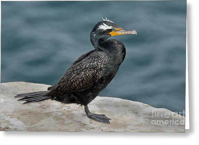 Phalacrocorax Auritus Greeting Cards - Double-crested Cormorant Greeting Card by Anthony Mercieca