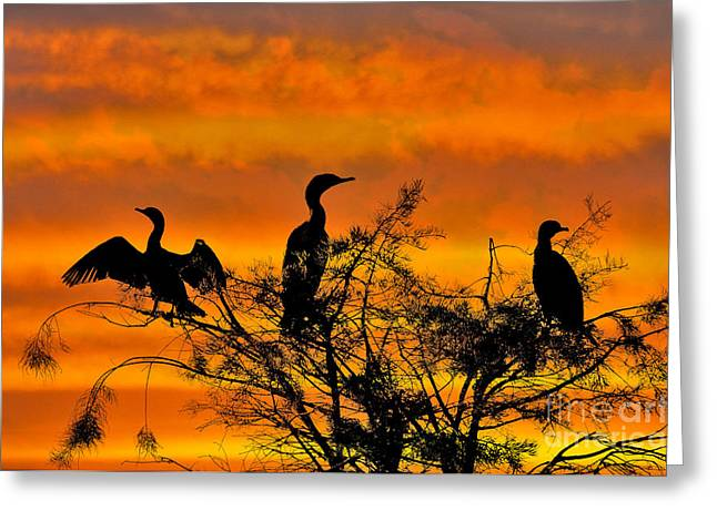 Phalacrocorax Auritus Greeting Cards - Double-crested Cormorant Greeting Card by Mark Newman