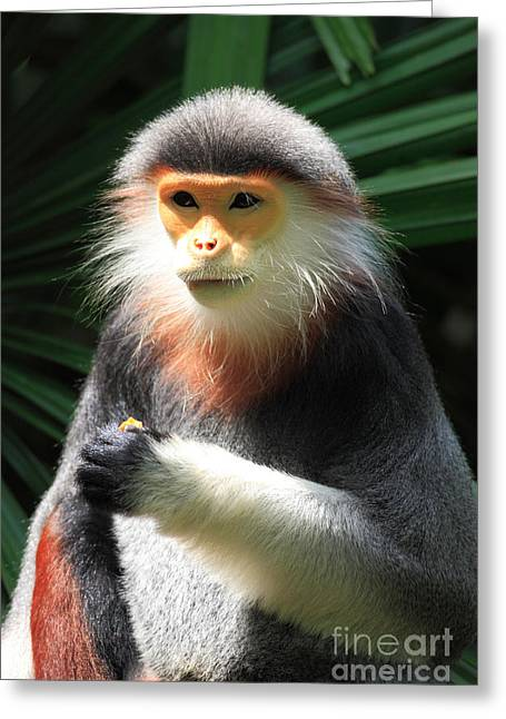 Asian Wildlife Greeting Cards - Douc Langur Greeting Card by Sohns/Okapia