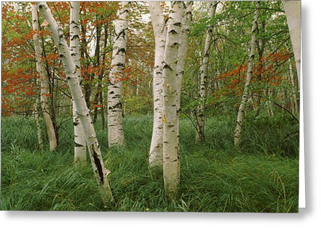 Birch Tree Greeting Cards - Downy Birch Betula Pubescens Trees Greeting Card by Panoramic Images