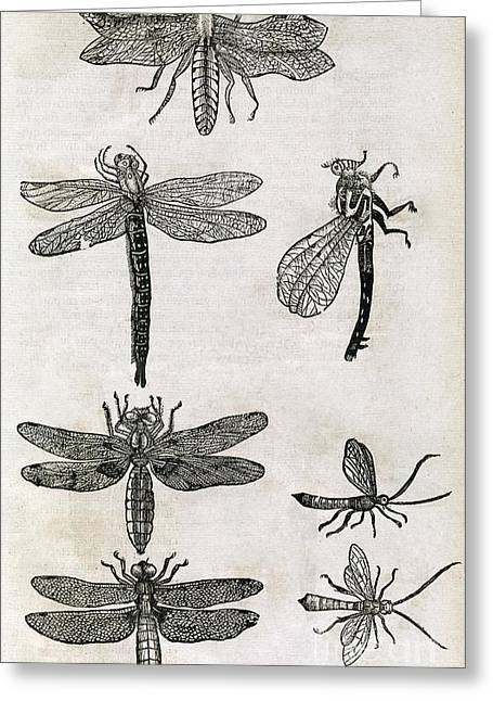 Muffet Greeting Cards - Dragonflies, 17th Century Artwork Greeting Card by Middle Temple Library