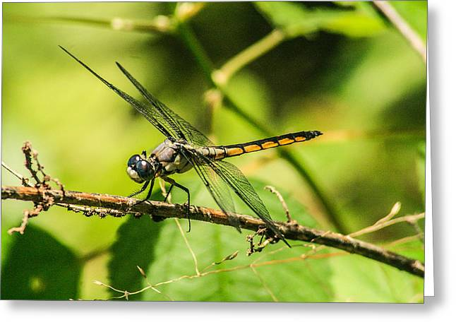 Dragonfly Greeting Card by Steven  Taylor