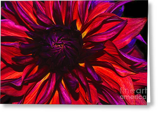 Dinner-plate Dahlia Greeting Cards - Drama Queen Dahlia Greeting Card by ArtissiMo Photography