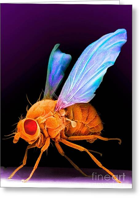 Scanning Electron Micrograph Greeting Cards - Drosophila Greeting Card by David M. Phillips