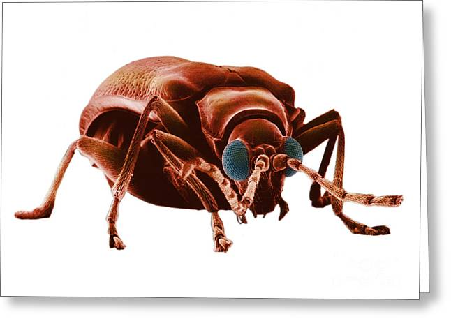 Drugstores Greeting Cards - Drugstore Beetle Greeting Card by David M. Phillips