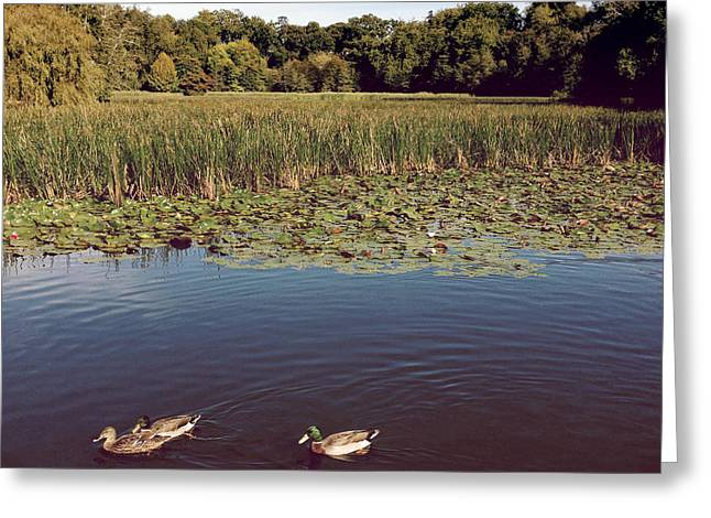 Waterbird Greeting Cards - Ducks Greeting Card by Les Cunliffe