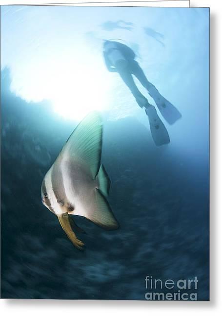 Batfish Greeting Cards - Dusky Batfish And Scuba Diver Greeting Card by PhotoStock-Israel