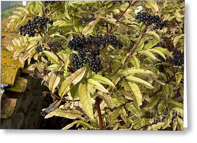 Black Berries Photographs Greeting Cards - Dwarf Elder Sambucus Ebulus Greeting Card by Bob Gibbons