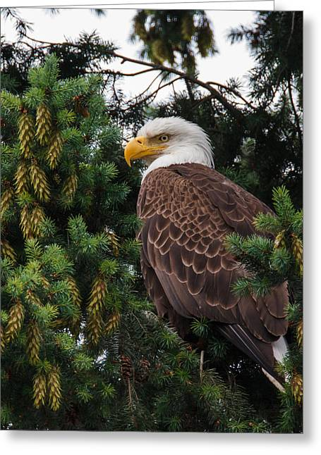 Fir Trees Greeting Cards - Eagle Greeting Card by Angie Vogel