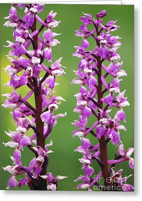 Purple. Wild Orchid Greeting Cards - Early Purple Orchid Orchis Mascula Greeting Card by Colin Varndell