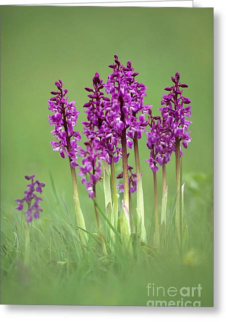 Variable Focus Greeting Cards - Early Purple Orchids Orchis Mascula Greeting Card by Adrian Bicker