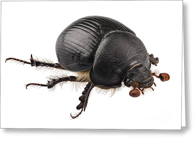 Dung Greeting Cards - earth-boring dung beetle species Geotrupes stercorarius Greeting Card by Pablo Romero