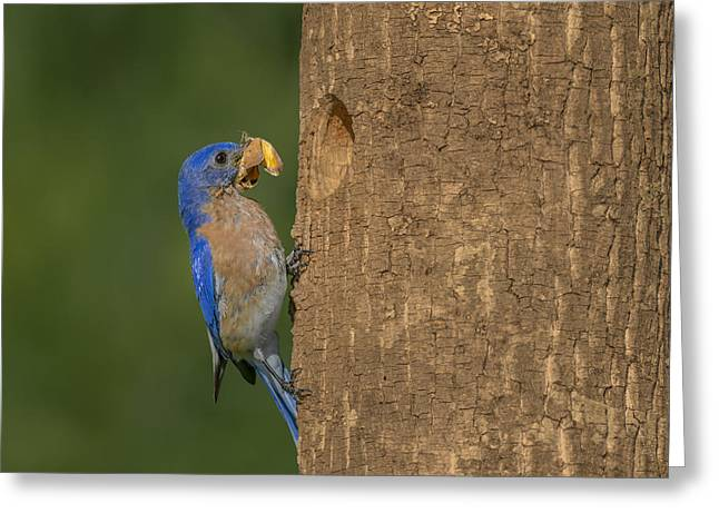 Butterfly Prey Greeting Cards - Eastern Bluebird  Greeting Card by Susan Candelario