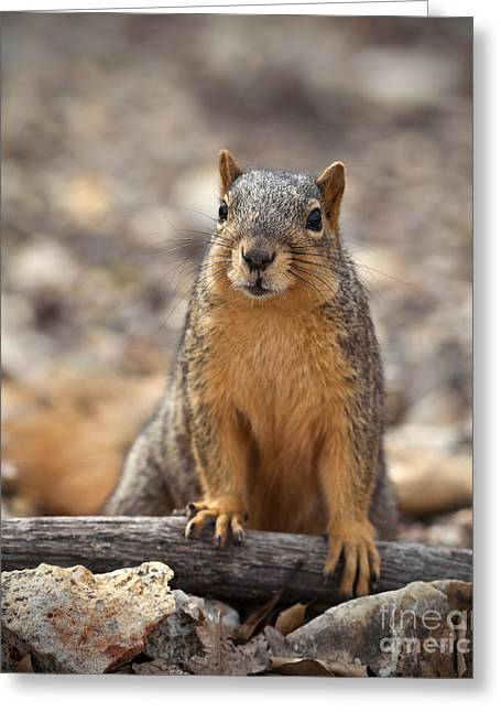 Eastern Fox Squirrel Greeting Cards - Eastern Fox Squirrel Greeting Card by Brandon Alms