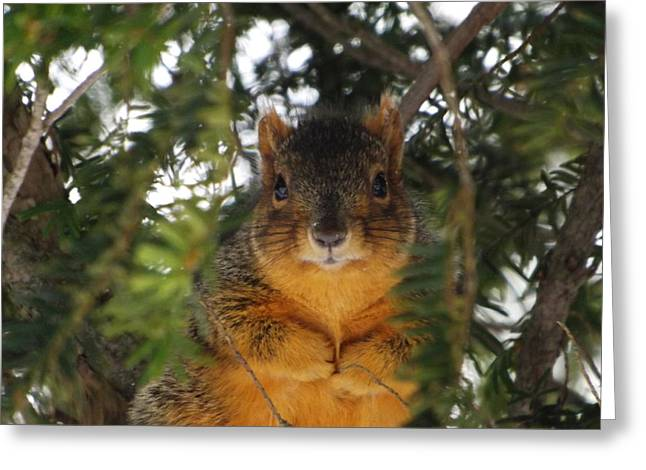 Fox Squirrel Greeting Cards - Eastern Fox Squirrel Greeting Card by Dennis Pintoski