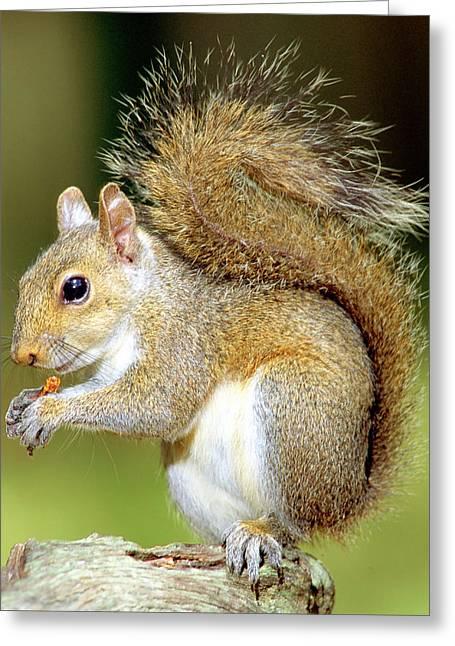 Eastern Grey Squirrel Greeting Cards - Eastern Gray Squirrel Greeting Card by Millard H Sharp
