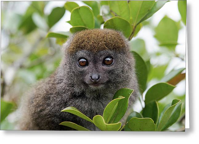 Eastern Grey Bamboo Lemur Greeting Card by Dr P. Marazzi