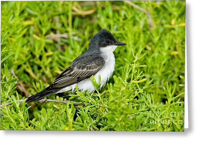 Eastern Kingbird Greeting Cards - Eastern Kingbird Greeting Card by Anthony Mercieca
