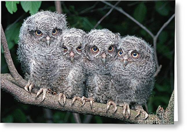 Owlets Greeting Cards - Eastern Screech Owls Greeting Card by Ron Austing