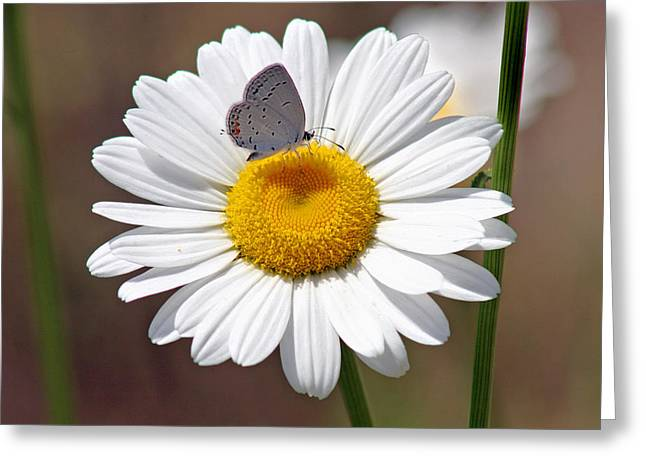 Butterfly Blue Pincushion Flower Greeting Cards - Eastern Tailed Blue Butterfly on Daisy Greeting Card by Karen Adams