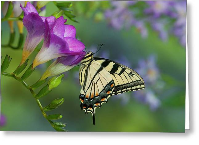 Eastern Tiger Swallowtail Butterfly Greeting Card by Darrell Gulin