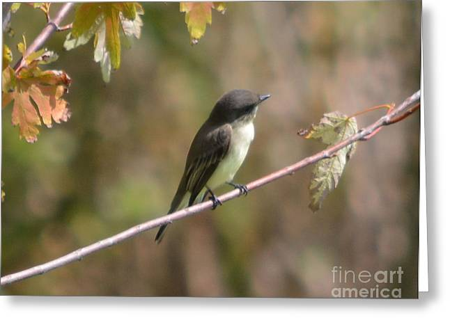 Bird On Tree Greeting Cards - Eastern Wood Peewee  Greeting Card by Ruth  Housley