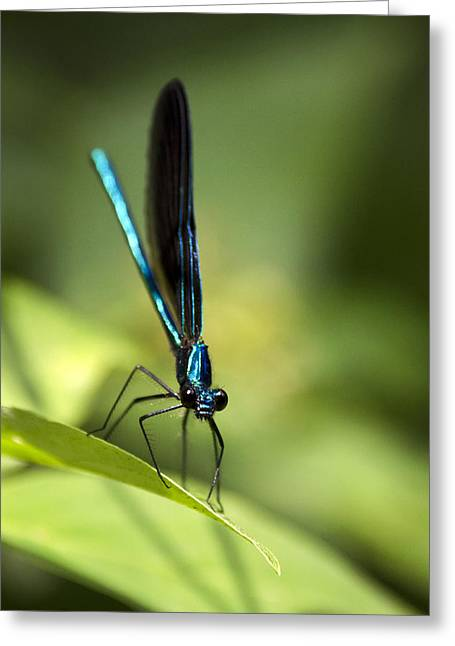 Dragonflies Greeting Cards - Ebony Jewelwing Damselfly Greeting Card by Christina Rollo
