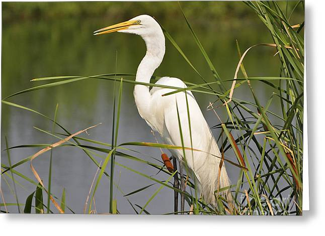 Al Powell Photography Usa Greeting Cards - Egret in the Cattails Greeting Card by Al Powell Photography USA