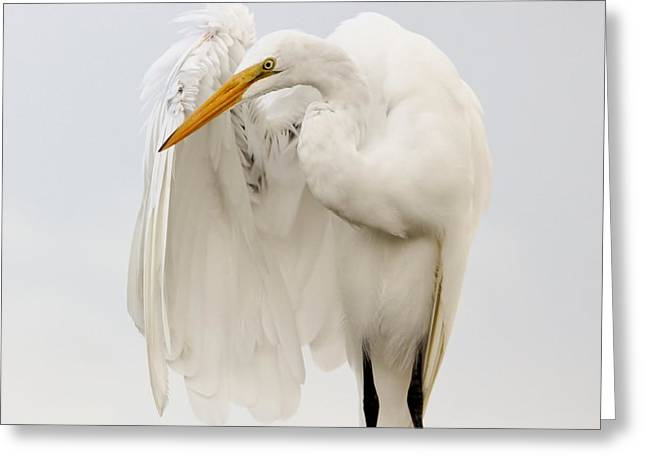 Paulette Thomas Photography Greeting Cards - Egret Wings Greeting Card by Paulette Thomas