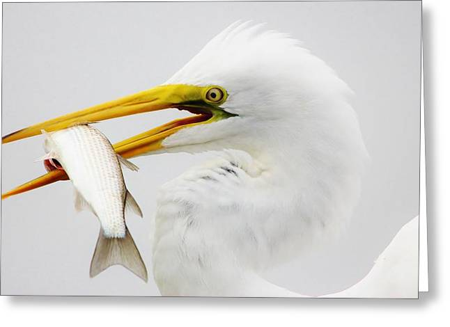 Paulette Thomas Photography Greeting Cards - Egret with his catch of the day Greeting Card by Paulette Thomas