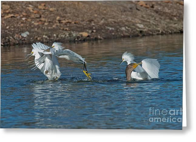 Phalacrocorax Auritus Greeting Cards - Egrets Robbing A Cormorant Greeting Card by Anthony Mercieca