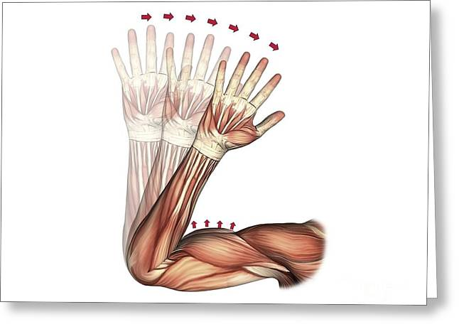 Biceps Greeting Cards - Elbow Flexion, Artwork Greeting Card by D & L Graphics