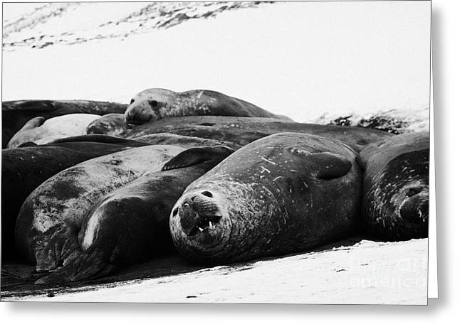 Elephant Seals Greeting Cards - elephant seals hannah point livingstone island Antarctica Greeting Card by Joe Fox