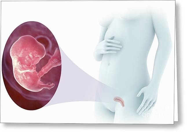 Pregnancy Greeting Cards - Embryo Development Week 8 Greeting Card by Science Picture Co