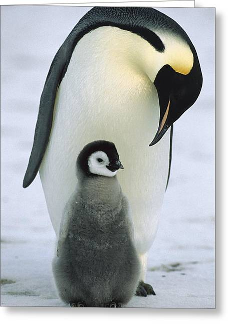 Seabirds Greeting Cards - Emperor Penguin With Chick Antarctica Greeting Card by Konrad Wothe