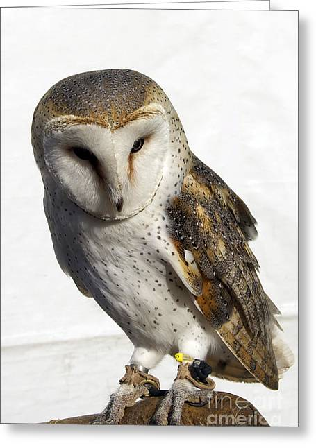Photos Of Birds Greeting Cards - English Barn Owl Greeting Card by Skip Willits