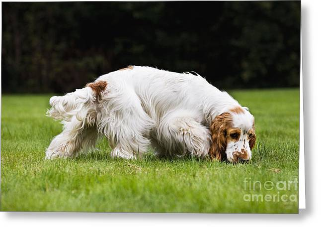 Dog Walking Greeting Cards - English Cocker Spaniel Greeting Card by Johan De Meester