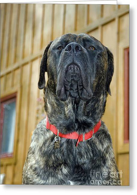 English Mastiff Greeting Cards - English Mastiff Greeting Card by Mark Newman