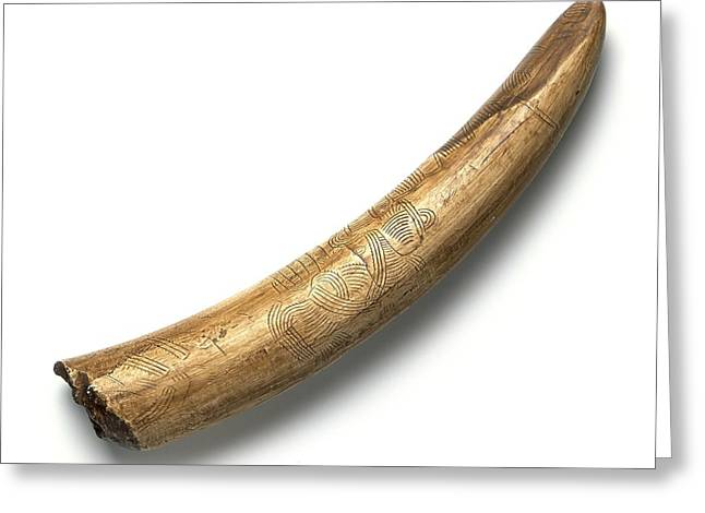Anthropological Art Greeting Cards - Engraved mammoth tusk Greeting Card by Science Photo Library
